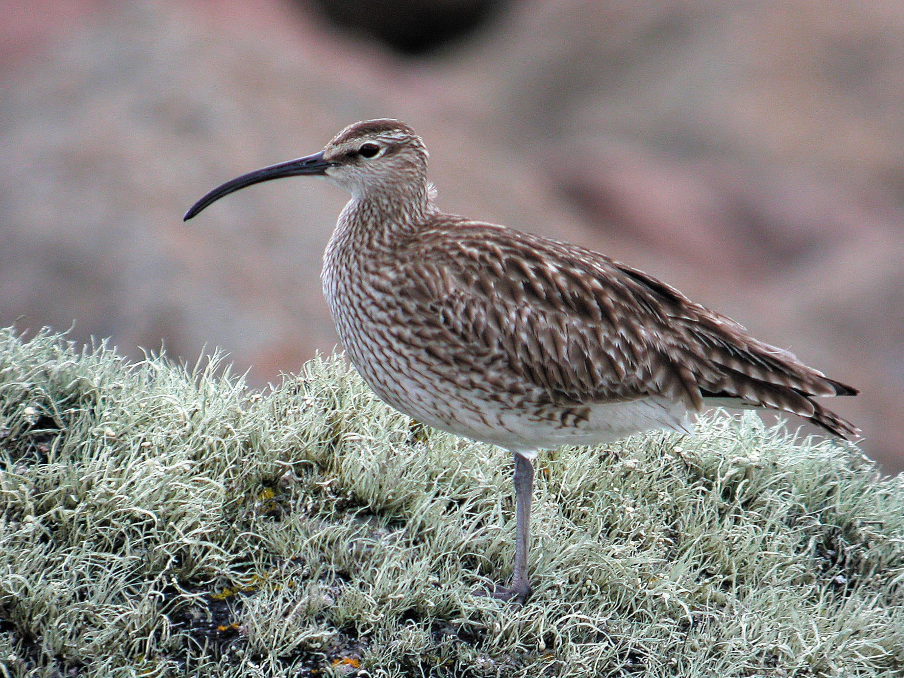 whimbrel-standing-on-lichen-covered-rock