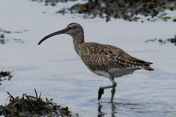 whimbrel-wading-through-water