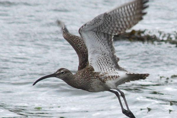 whimbrel-taking-to-the-wing