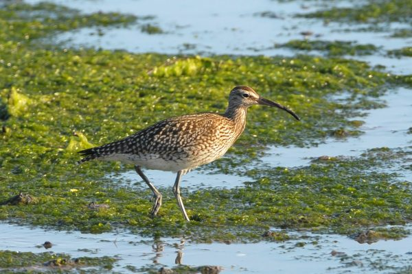 whimbrel-wading-through-algae-filled-water