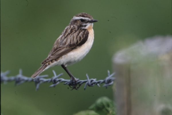 whinchat-perched-on-barbed-wire