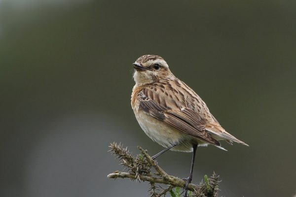 whinchat-perching-looking-towards