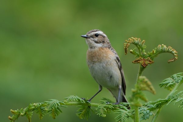 whinchat-perched-on-fern