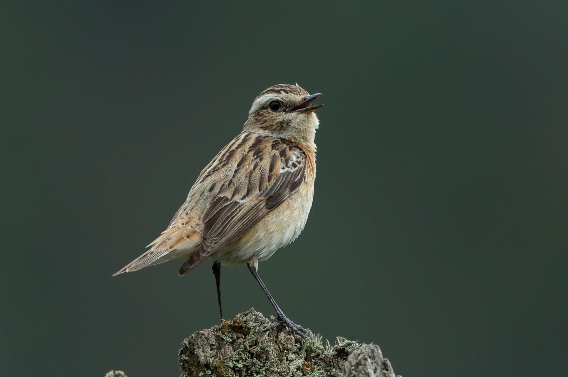 whinchat-singing