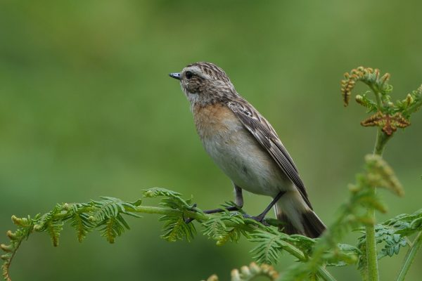 whinchat-perched-on-fern-looking-away