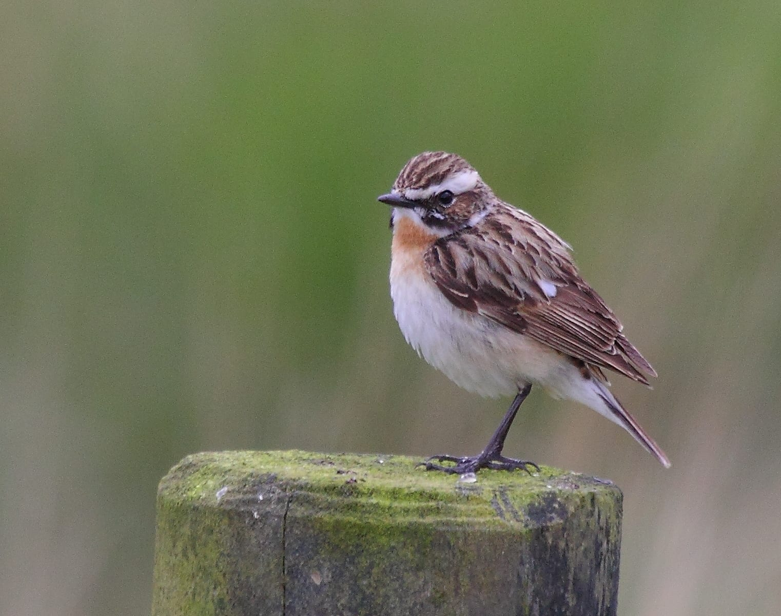 whinchat-standing-on-post