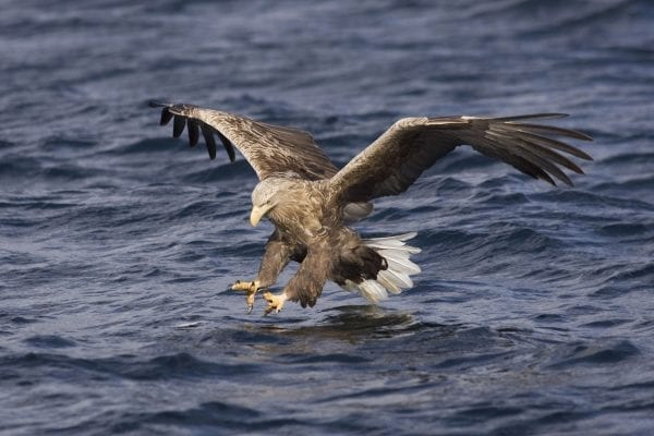 white-tailed-eagle-hunting-fish-with-wings-spread-and-talons-poised