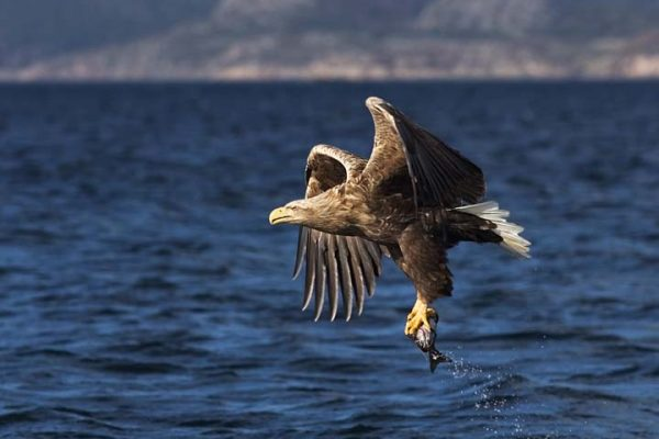 white-tailed-eagle-with-fish-prey-in-talons