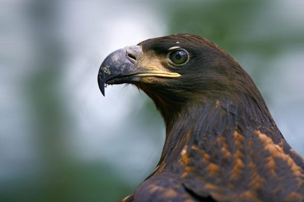 white-tailed-eagle-close-up-of-head