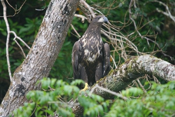 white-tailed-eagle-standing-in-a-tree