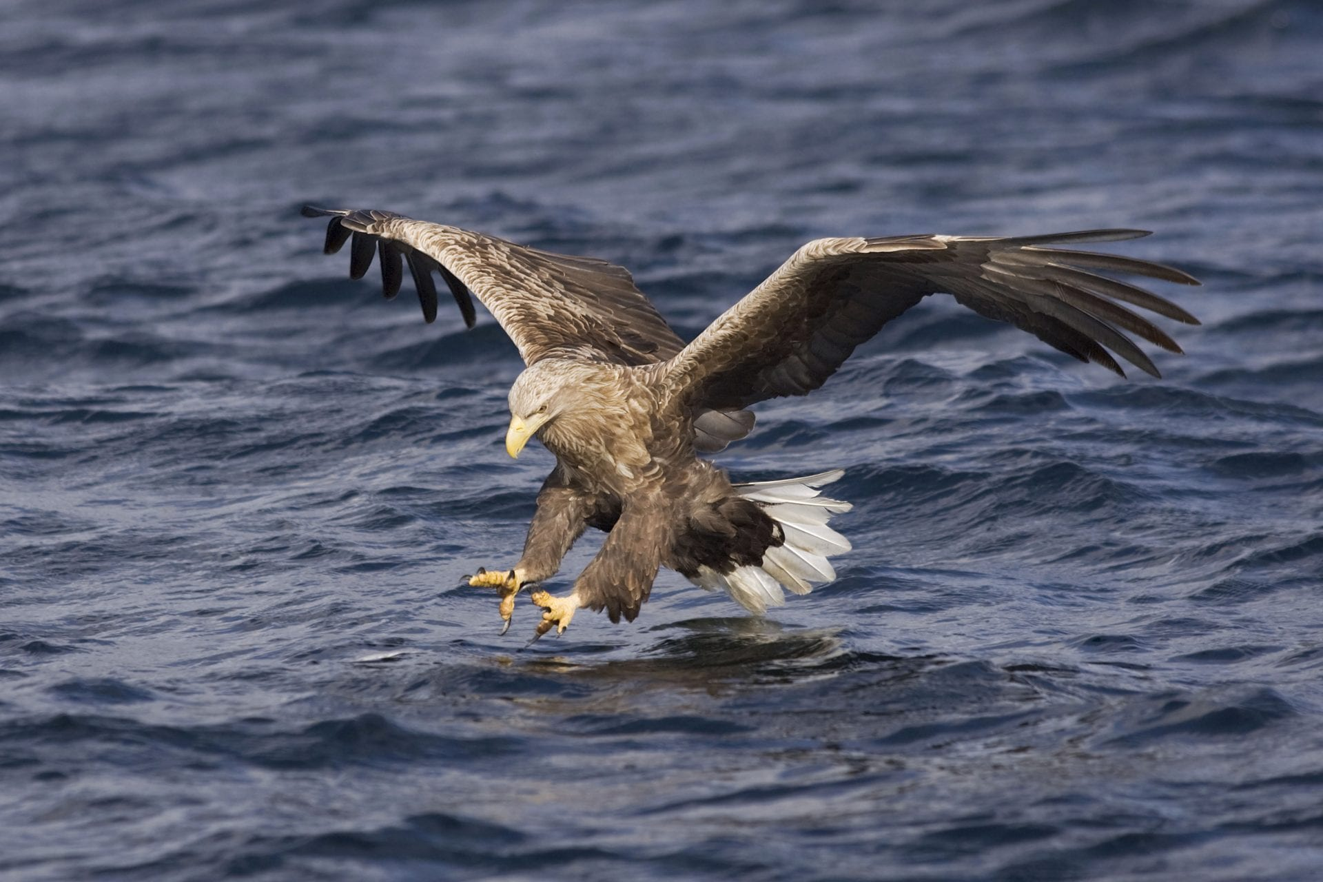white-tailed-eagle-hunting-for-fish