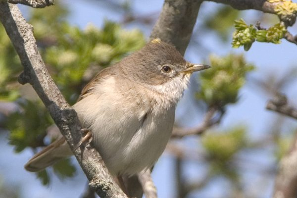 whitethroat-perched-in-tree