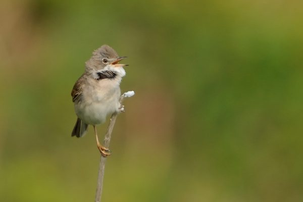whitethroat-perched-on-end-of-stick