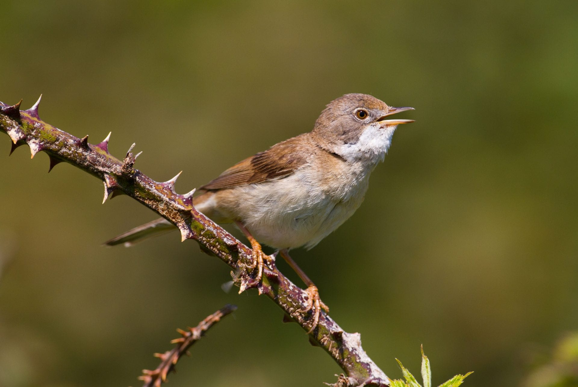 whitethroat-perched-on-bramble
