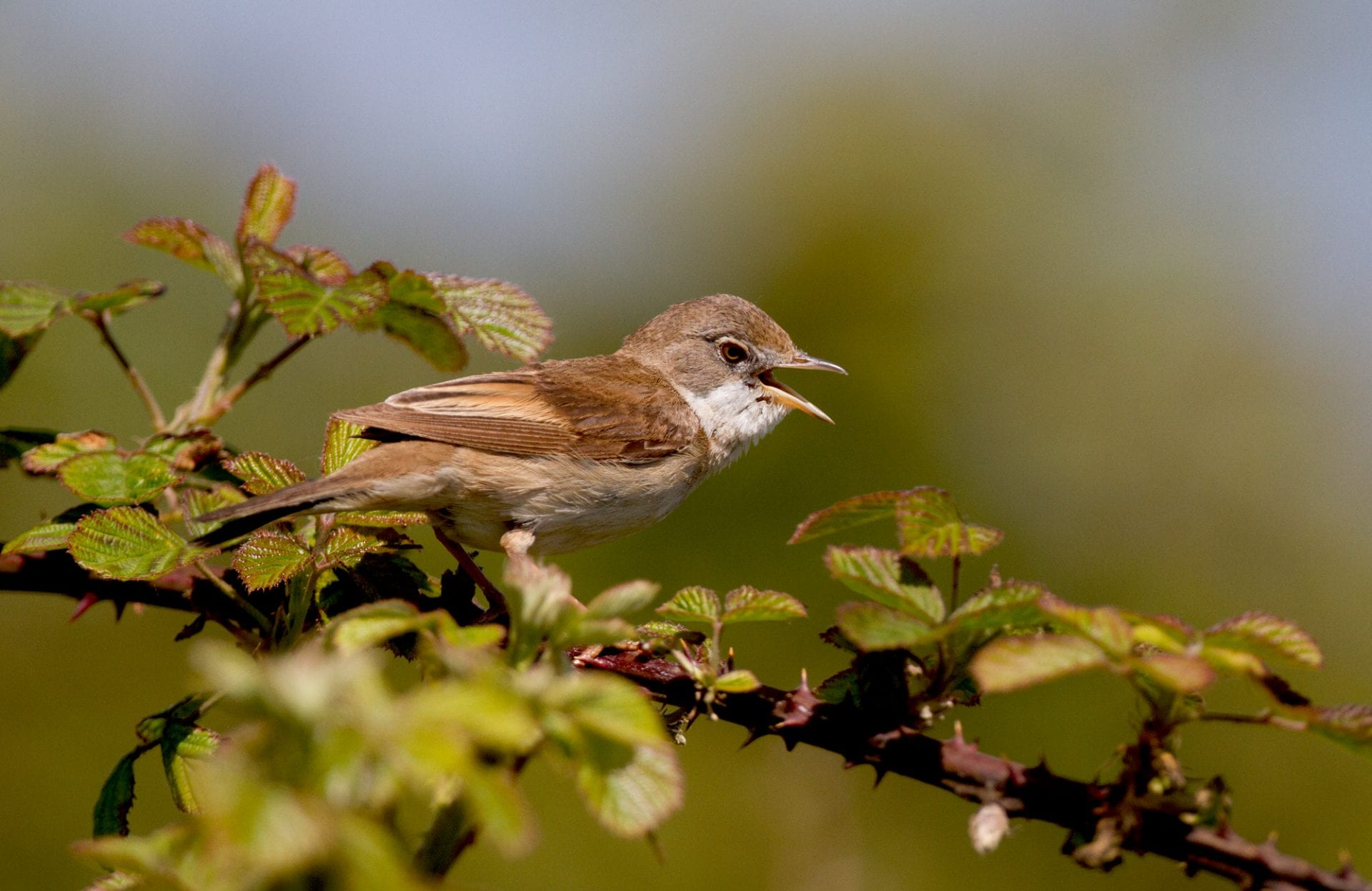 whitethroat-perched-on-bramble-singing