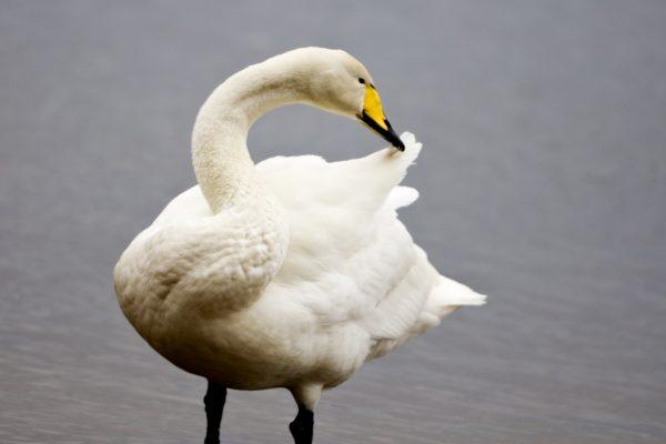 whooper-swan-standing-in-water