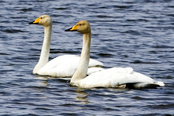 two-whooper-swans-swimming-side-by-side