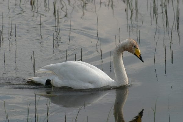 whooper-swan-on-the-water