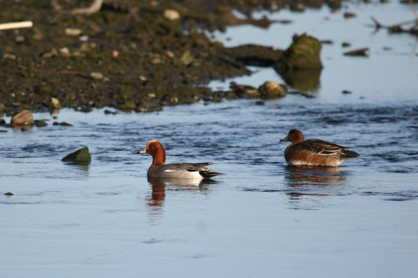 two-wigeon-on-water