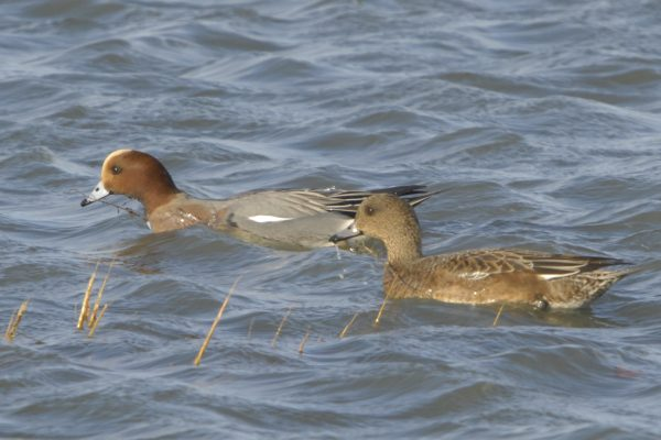 male-and-female-wigeon-swimming-side-by-side