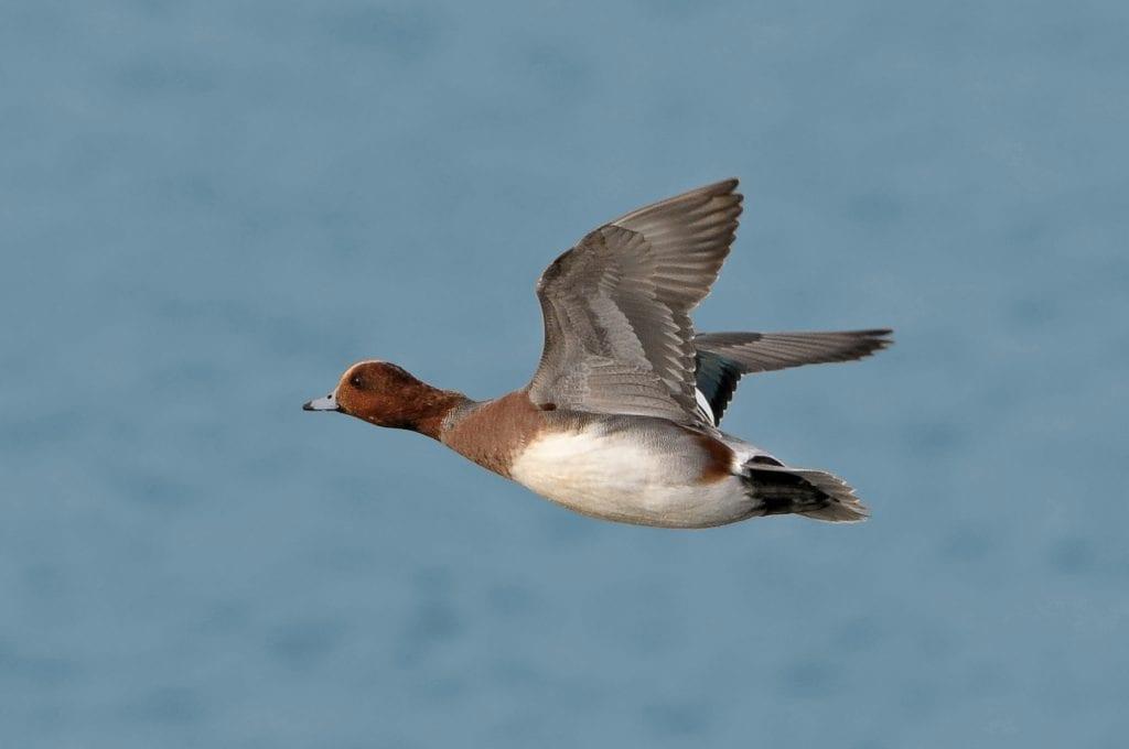 male-wigeon-in-flight