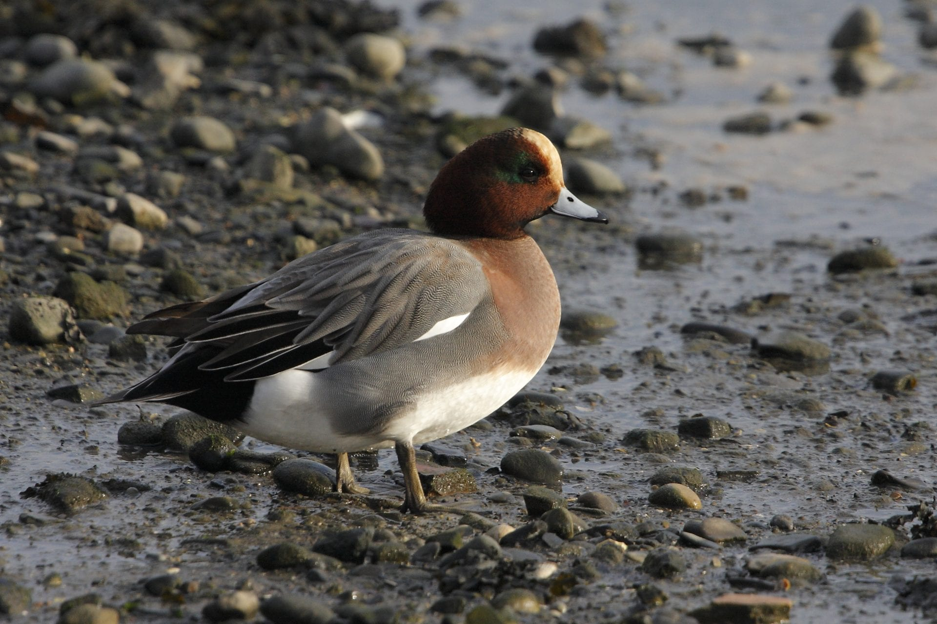 male-wigeon-standing-on-pebble-lough-shore