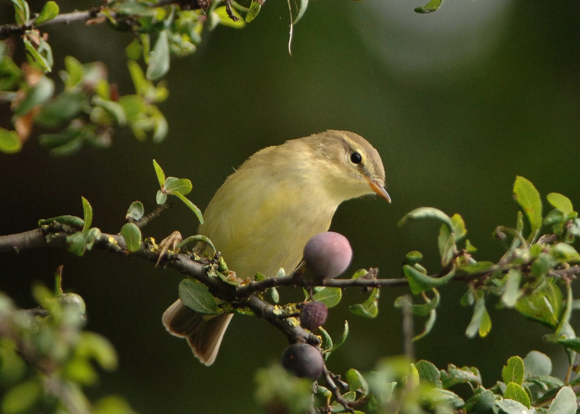 willow-warbler-perched-on-fruiting-blackthorn-bush