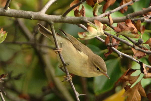 willow-warbler-perched-in-hawthorn-looking-towards-ground