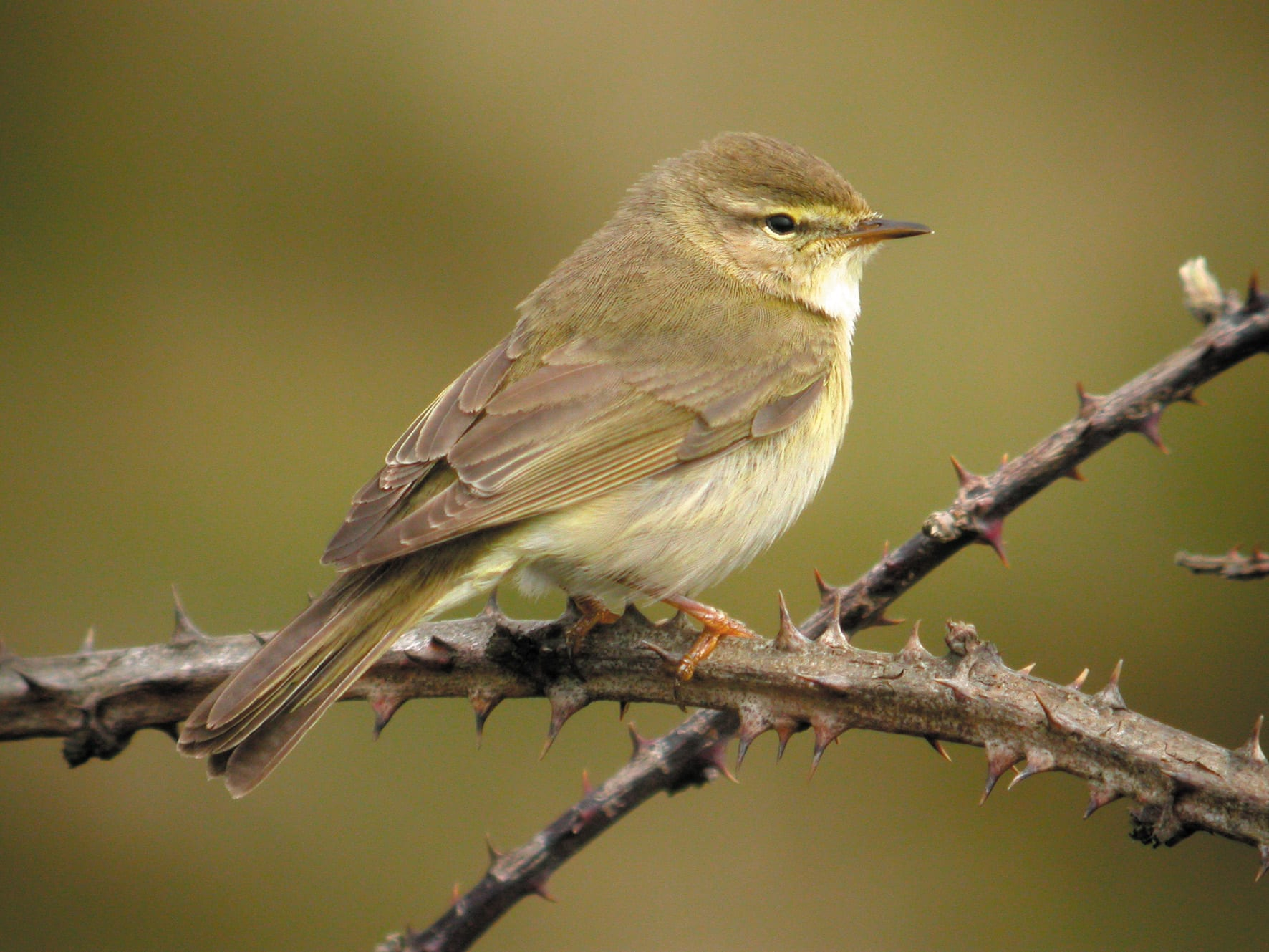 Willow-warbler-perched-on-brambles