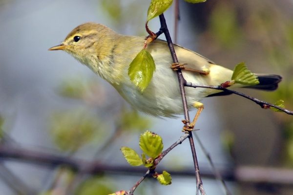 willow-warbler-hanging-from-willow-tree