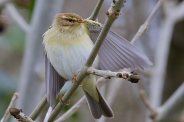 willow-warbler-perched-on-ash-tree