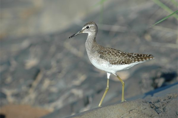 wood-sandpiper-walking-on-rock