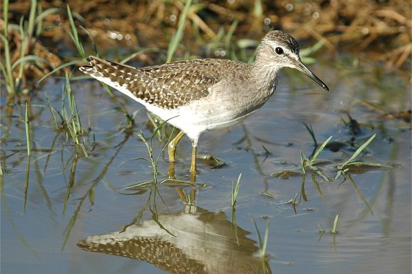 wood-sandpiper-wading-through-grassy-puddle