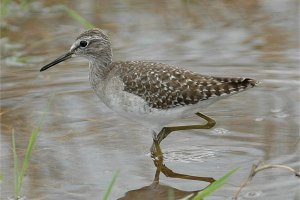 wood-sandpiper-wading-through-water