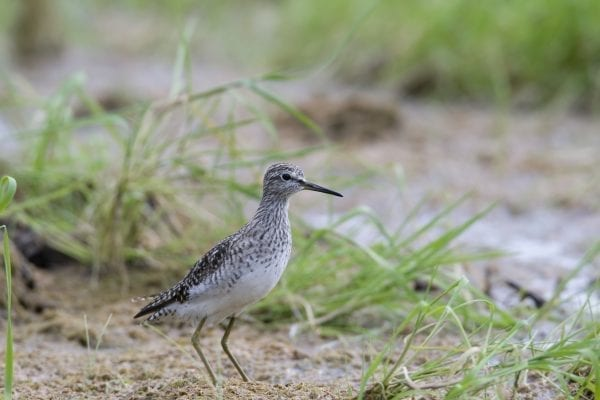 wood-sandpiper-in-sand-dunes