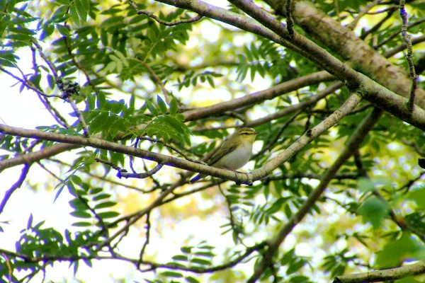 wood-warbler-perched-in-rowan-tree
