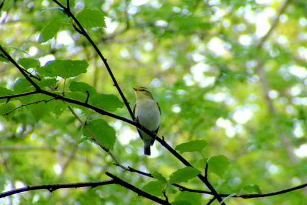 wood-warbler-perched-in-alder-tree
