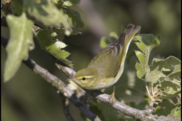 wood-warbler-stooping-to-look-for-insects