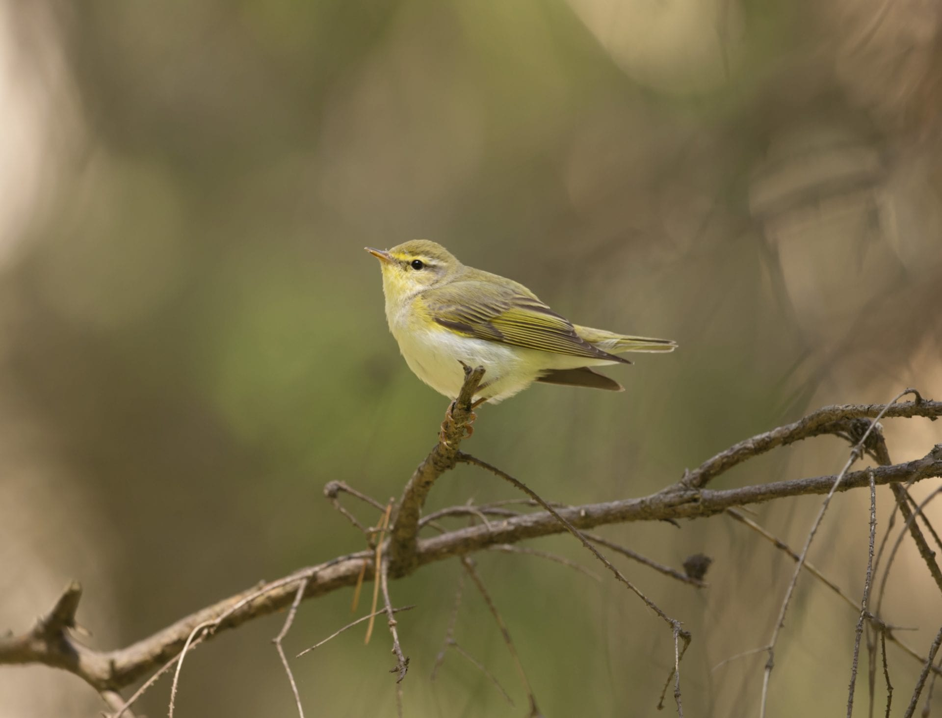 wood-warbler-perched-on-branch
