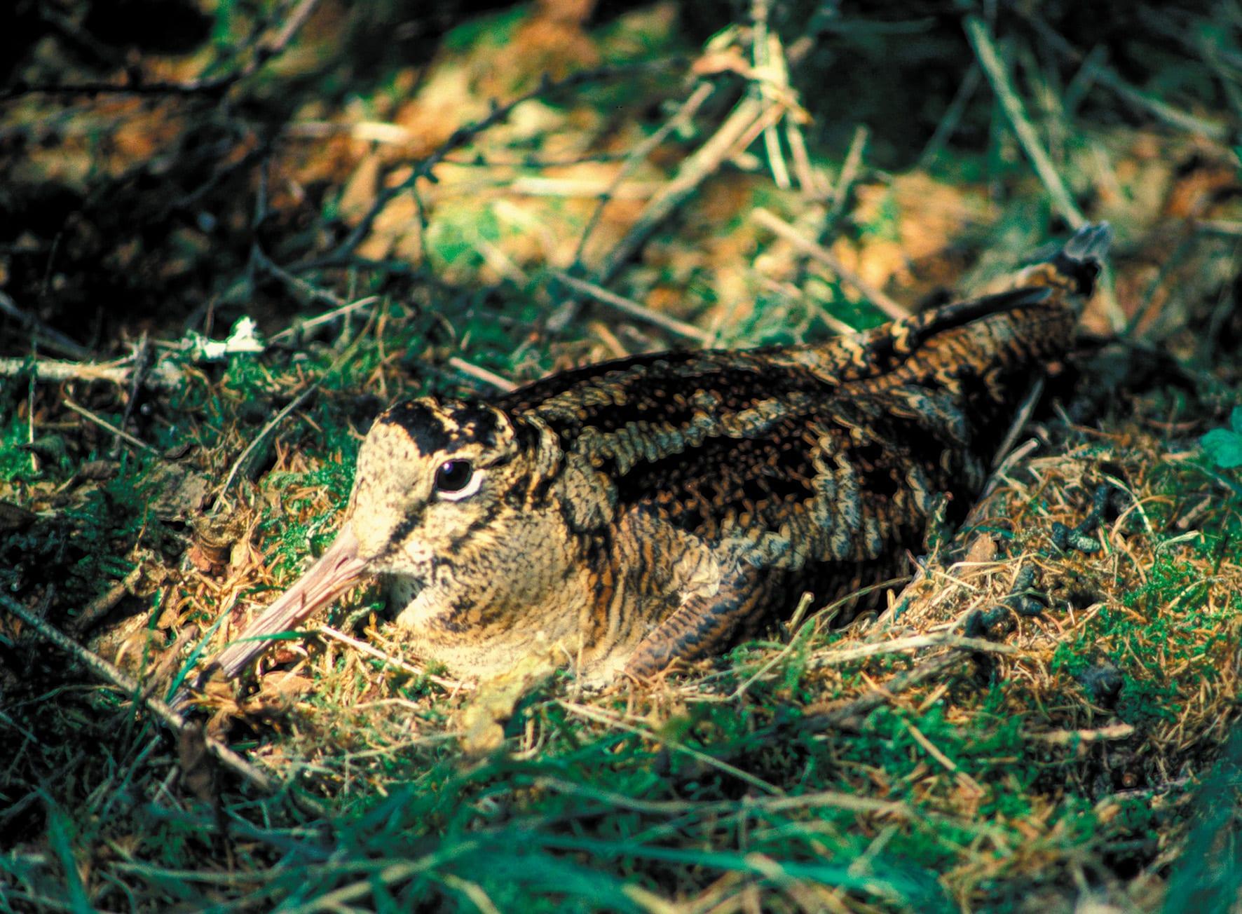 woodcock-sitting-on-nest