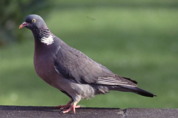 woodpigeon-standing-on-a-wall