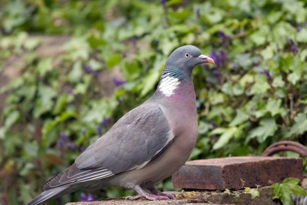 woodpigeon-close-up-standing-on-wall