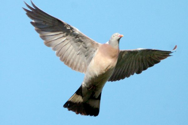woodpigeon-in-flight-blue-sky-background