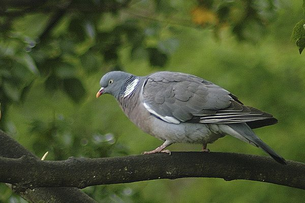 woodpigeon-standing-on-a-branch