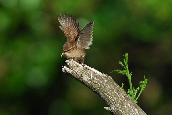 Wren-perched-on-branch-wings-spread-about-to-take-off