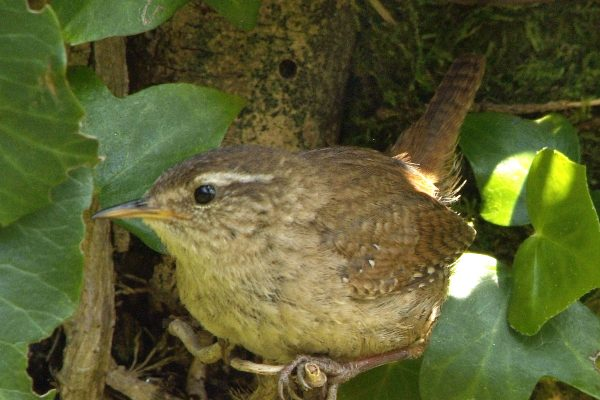 wren-hiding-amongst-the-ivy