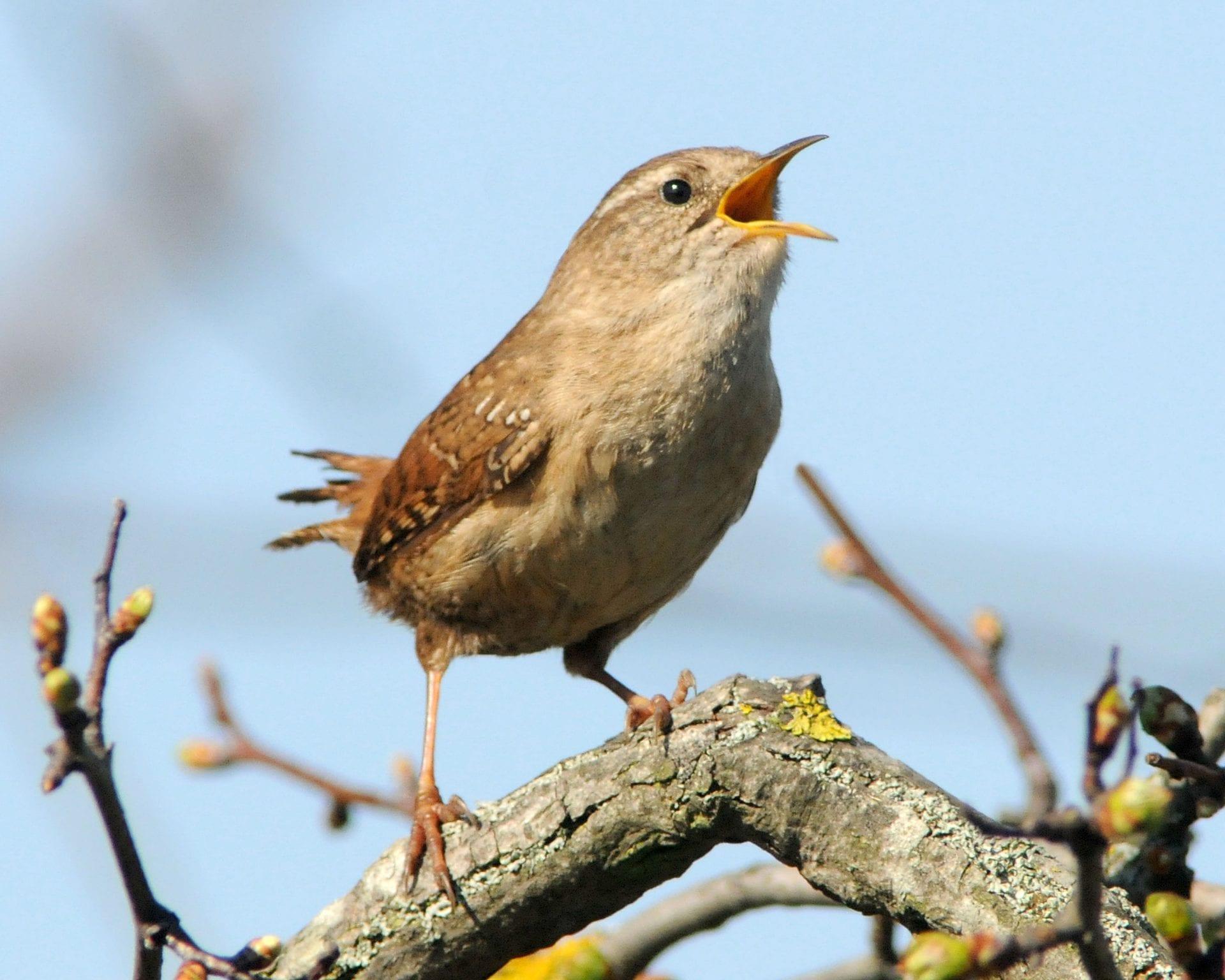 wren-singing
