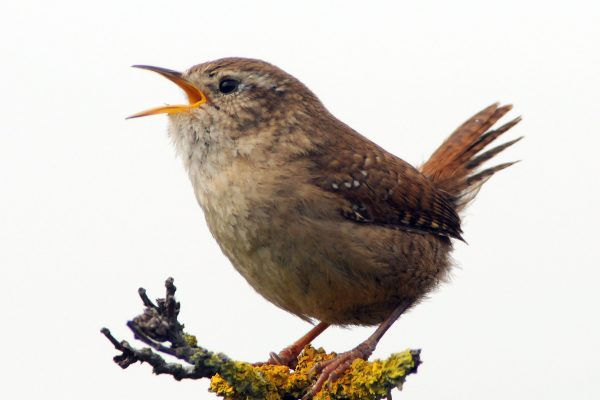 side-profile-of-wren-with-tail-up-singing