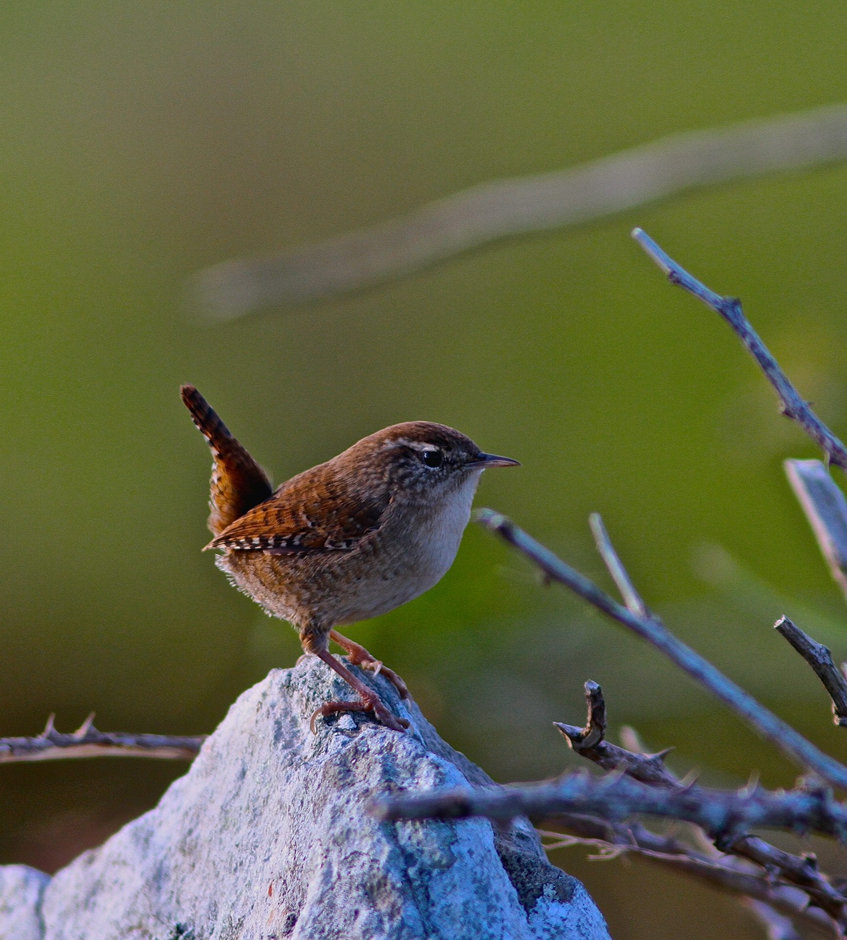 wren-perched-on-rock