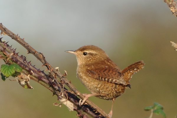 wren-perched-on-brambles